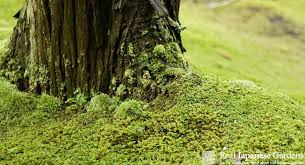 moss in the japanese garden real