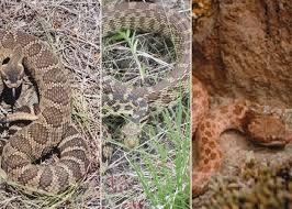 Western Rattlesnake Crotalus Oreganus Great Basin Gophersnake Pituophis Catenifer Deserticola Desert Nightsnake Hypsiglena Chlorophaea Recovery Strategy 2017 Canada Ca