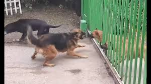 Dog Barking Throught The Gate Part Ii Youtube