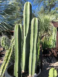 Columnar Cacti For The Southwest Finegardening