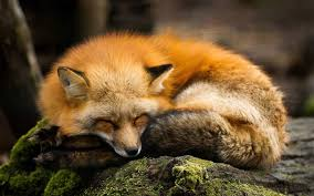 Hey comment a cute fox image if u love foxes | Object Shows Amino