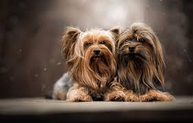 wallpaper dogs portrait a couple