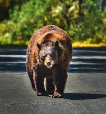 Beautiful Bear walking down the road Photograph by Mandy Anderson
