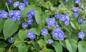 الياسمين الأزرق نباتاتي