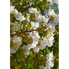 20054 Lagerstroemia indica white - Crepe myrtle - White ...