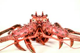 Don't Eat California Spiny Lobsters ...