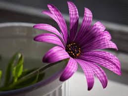 flowers for flower desk top hd