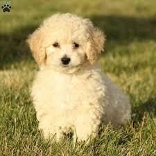 bich poo breed info greenfield puppies
