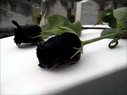 الزهرة السوداء من الزهور النادرة المرسال