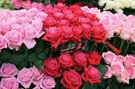 harga bunga mawar merah per tangkai harga tanaman bunga mawar