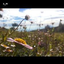 aroma bunga daisy di ketinggian prau mdpl olah rasa