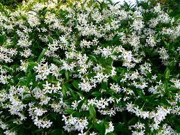 Jasmine Star Honeysuckle Nurseries