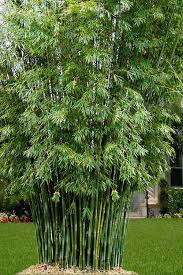 Buy Seabreeze Bamboo Plants Free Shipping Bambusa Malingensis For Sale Online From Wilson Bros Gardens