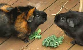 housing and feeding your guinea pig