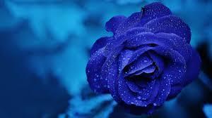 blue rose chromebook wallpaper