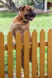 Male Dog Standing At Yellow Picket Fence Stock Photo Download Image Now Istock