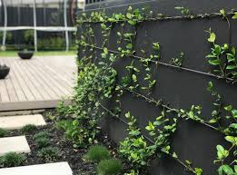 Buy Star Jasmine Plants Online Trachelospermum Jasminoides Plants In A Box