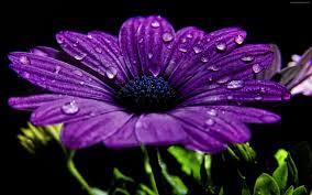 صور الورد البنفسج