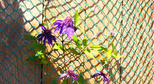 Planting Clematis Against A Fence How To Fix It To A Fence