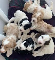 Labradoodle Puppies | Gorgeousdoodles | Australian Labradoodle Breeder –  Breeder of Quality Australian Labradoodles