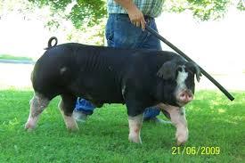 Cute Poland China Pig | Cute animals, Farm yard, Animals
