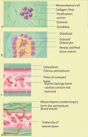 bone development and growth intechopen
