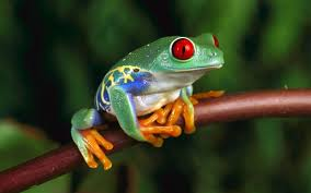 green frog with red eyes 4k ultra hd