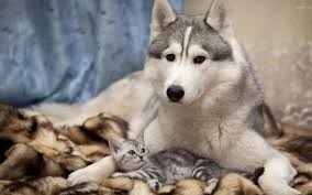 siberian husky with a kitten wallpaper