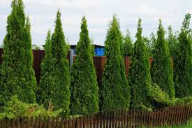 How To Plant A Privacy Hedge Arbor Day Blog