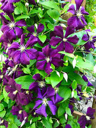 Plants That Can Cover A Chain Link Fence Part Ii Perennial Flowering Vine Lawneq Blog