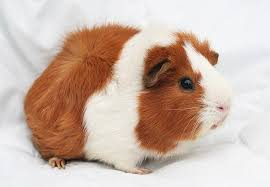 hd wallpaper white and guinea pig