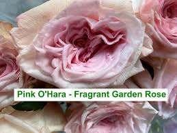 Colombian Garden Roses