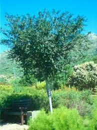 recommended indigenous trees for pools