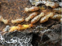 44+ Termite Service PNG