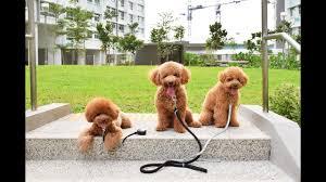 toy poodle club at springleaf park