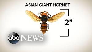 Murder Hornets' spotted in US - YouTube