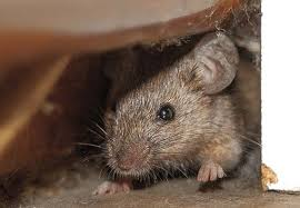 how to get rid of rats in lawn gardens