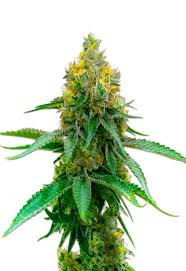 Girl Scout Cookies Autoflower Seeds by MaryJanes Garden - Rocket ...