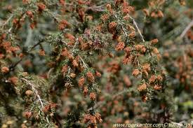 Melaleuca incana - Gray Honey Myrtle, Gray-leafed Honey Myrtle, מללויקה  מאפירה   The Jerusalem Botanical Gardens