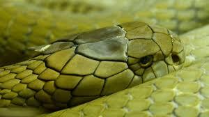 king cobra wallpaper hd 45146 baltana