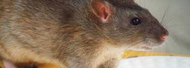 6 Fast Ways to Trap or Get Rid of Rats in the House