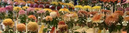 chrysanthemum society
