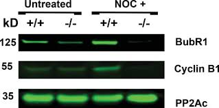 PP2A-B56γ is required for an efficient spindle assembly checkpoint