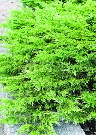 juniperus calgary carpet juniper conifer