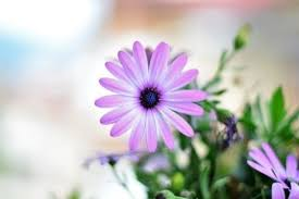 sungguh menawan bunga yang hanya tumbuh di kala musim panas