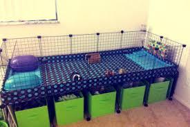 guinea pigs australia grids c c