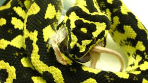 jungle carpet python feeding 8 23 09