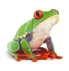Red Eyed Tree Frog Treefrog Wall Decal Pixers We Live To Change