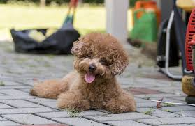 ing a cute poodle