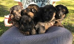 german shepherd puppies in florida